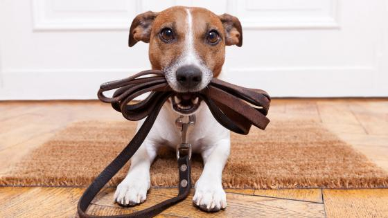 Jack Russell Terrier waiting to walk wallpaper
