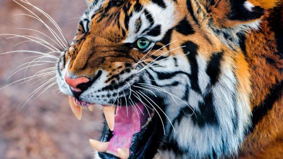 Roaring tiger 🐯 wallpaper
