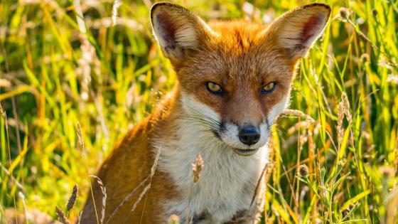 Cunning fox wallpaper