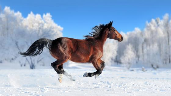 Horse runs in the snow wallpaper
