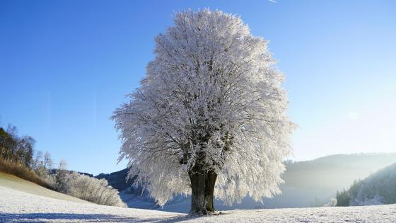 Hoary tree wallpaper