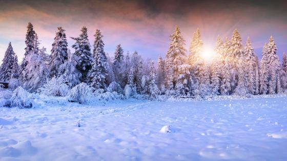 Snowy pine forest ❄️ wallpaper