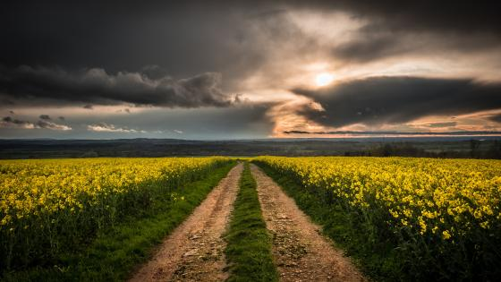 Dirt road in the canola field wallpaper