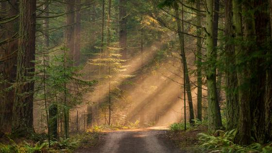 Forest path in the sunlight wallpaper