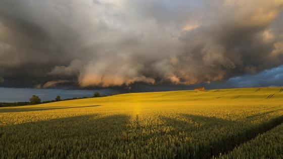 Clouds above the yellow canola field wallpaper