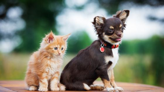 Cute kitten with a Chihuahua dog wallpaper