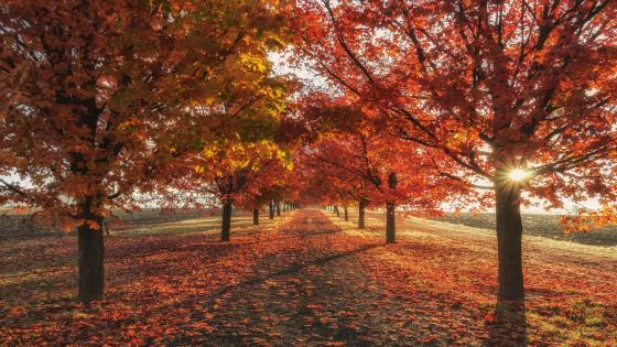 Red tree lane at fall wallpaper