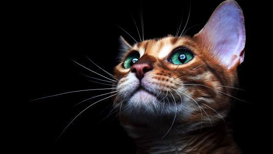 Green-eyed cat wallpaper