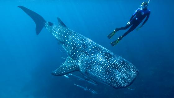 Whale shark with a diver underwater photo wallpaper