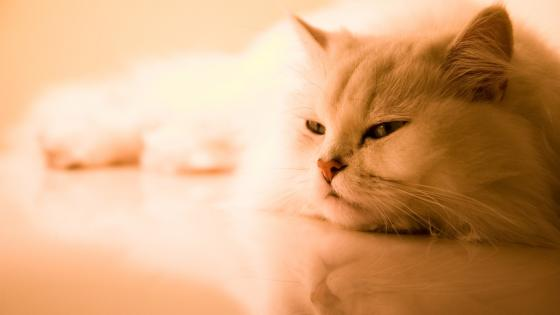 Persian cat wallpaper