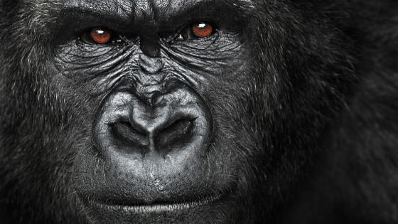 Gorilla look wallpaper