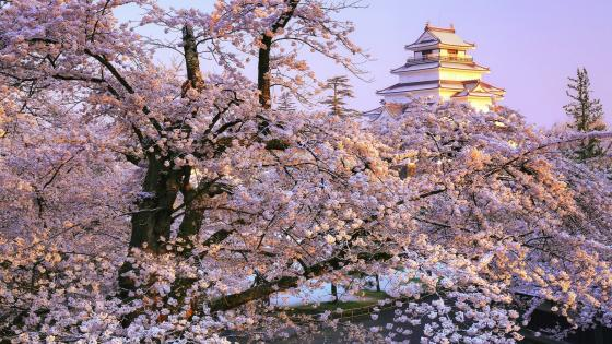 Aizuwakamatsu Castle at sakura blossum wallpaper