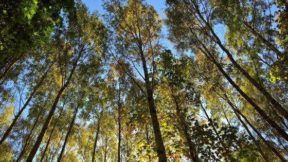 Worm's-eye view fall trees wallpaper