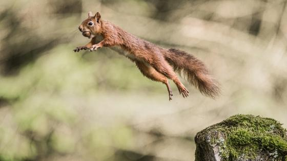 Jumping squirrel with a nut wallpaper