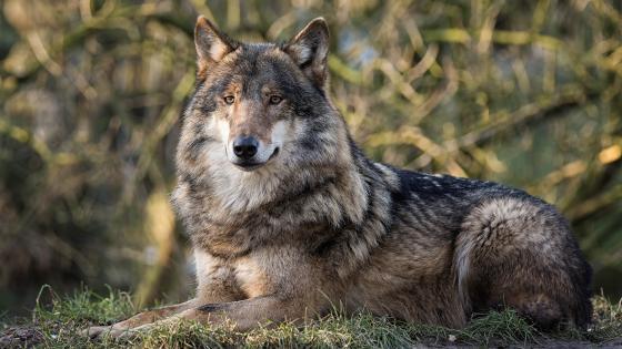 Beautiful wolf wallpaper