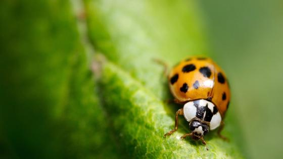 Yellow ladybug wallpaper