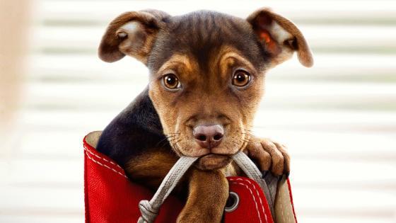 Puppy in a shoe wallpaper