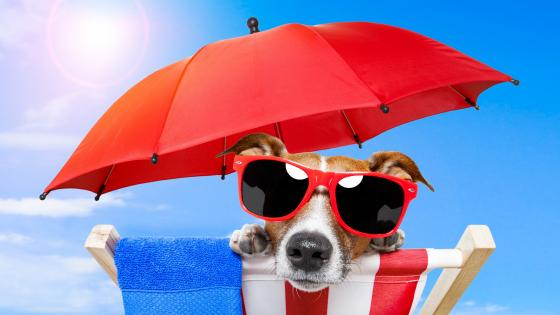 Funny sun-batheing Jack Russel Terrier wallpaper
