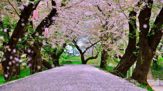 Cherry tree lane at blossom wallpaper