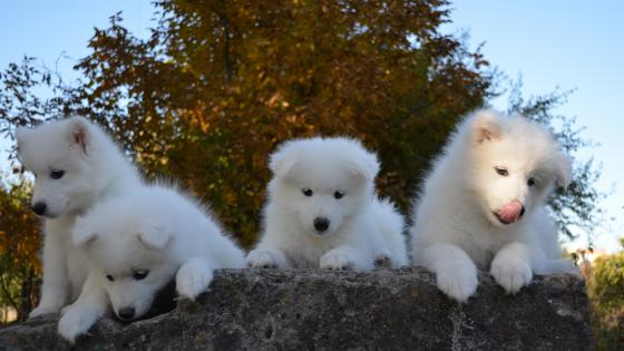Samoyed dog puppies wallpaper