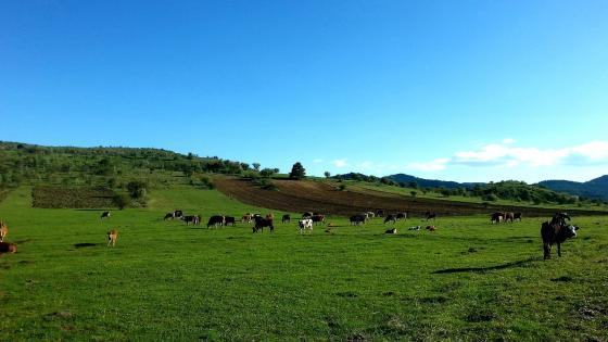 Cow herd wallpaper