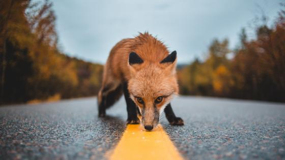 Snooping fox on the road wallpaper