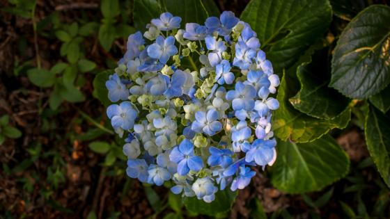 Hydrangea flower from Sri Lanka wallpaper