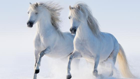 Running white horses wallpaper