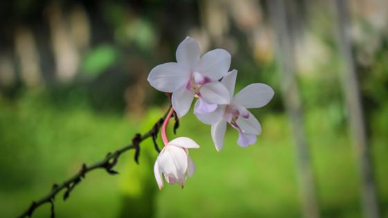 Ground Orchids from Sri Lanka wallpaper