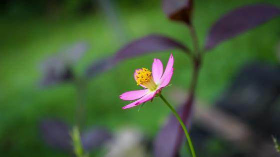 Eight petals - Pink wallpaper