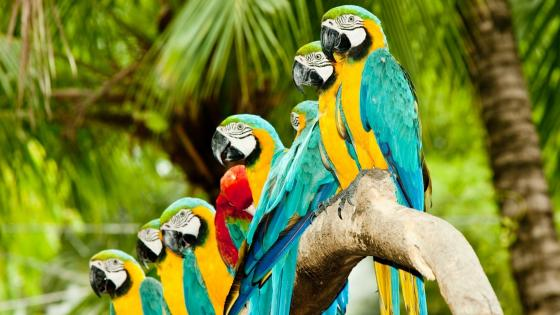 Macaw Parrots wallpaper