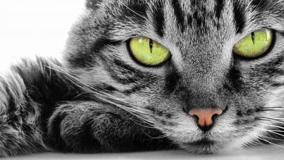 Grey cat with green eyes wallpaper