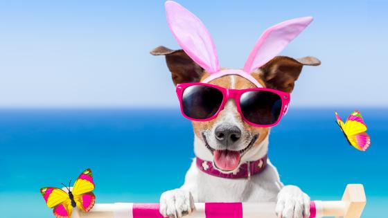 Easter bunny Jack Russell Terrier wallpaper