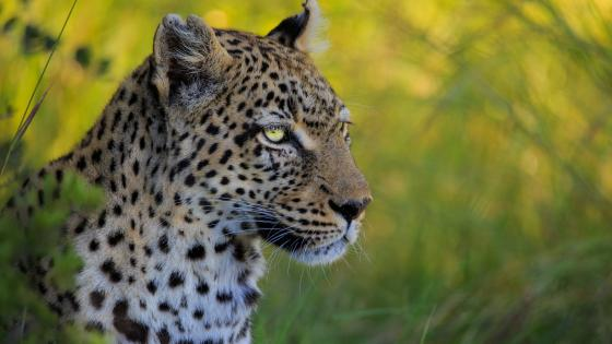 African leopard wallpaper