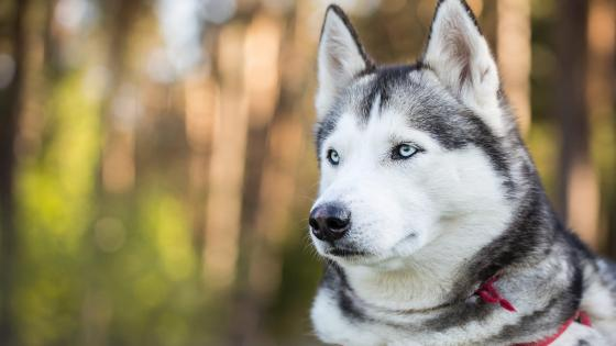 Siberian Husky with light blue eyes wallpaper