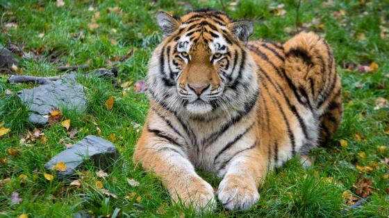 Tiger lies on the grass wallpaper