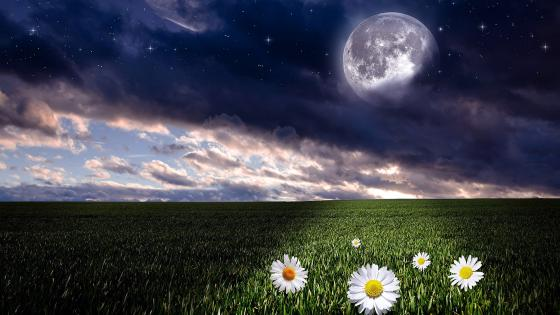 Daisies under the full moon wallpaper