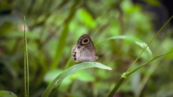 Butterfly - Sri Lanka wallpaper