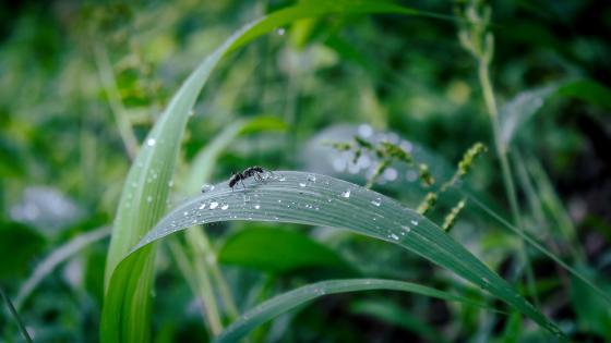 Ant on leaf wallpaper