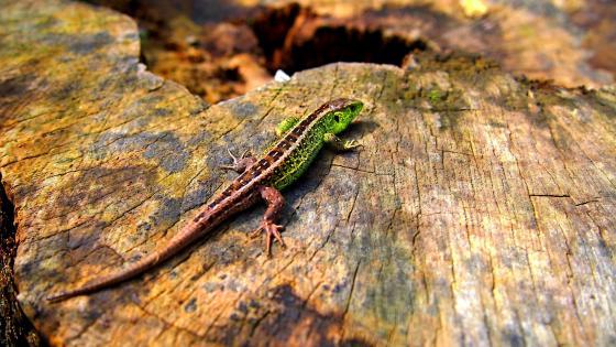 Green Lizard on a stump wallpaper
