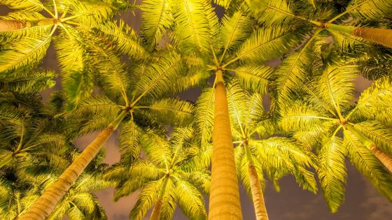 Low angle palm trees wallpaper