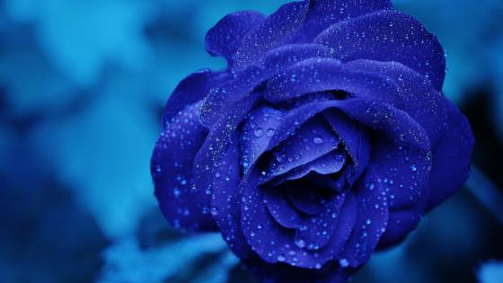 Blue rose wallpaper