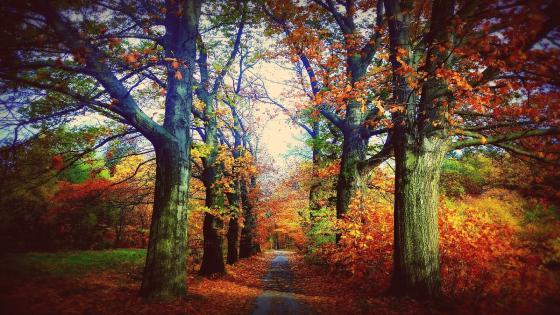 Autumn tree lane wallpaper