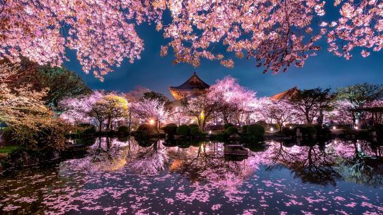 Sakura blossom in Kyoto wallpaper