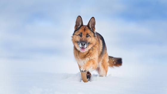 German Shepherd dog in the snow wallpaper