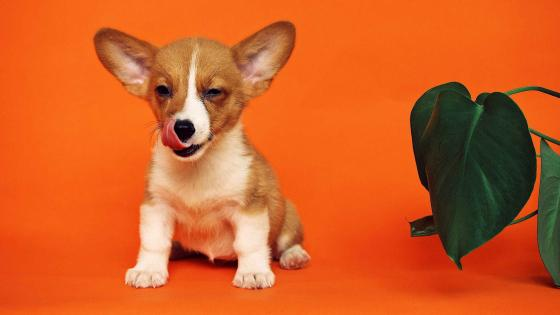 Puppy with big ears wallpaper