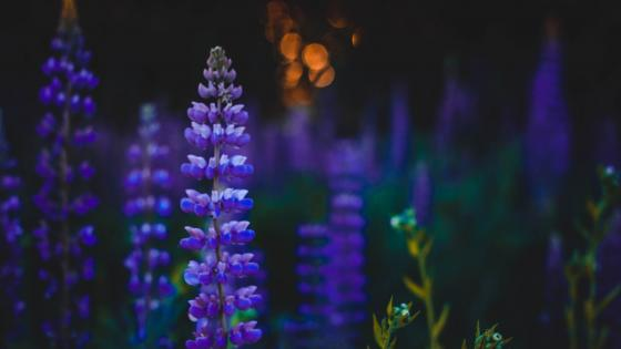 Blue Lupin flowers at dusk wallpaper