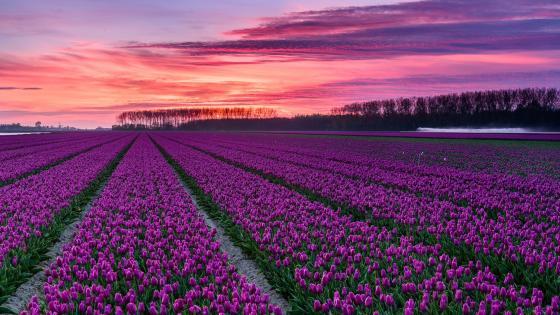 Dutch tulip farm wallpaper