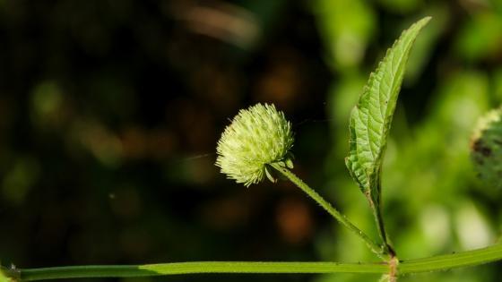 Wild flower bud - sri lanka wallpaper