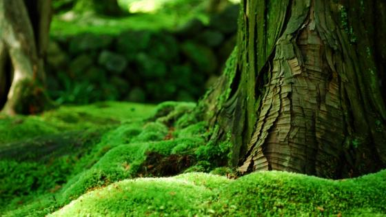 Mossy forest wallpaper
